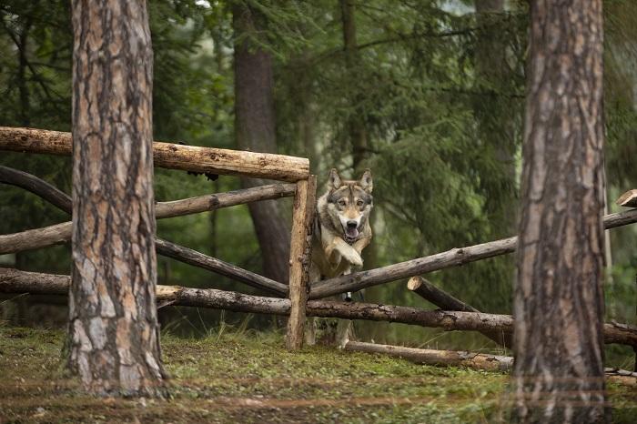 V nové kampani na Radegast Ratar se hlavní hrdina setkává tváří v tvář s vlkem, zdroj: Boomerang Communications.